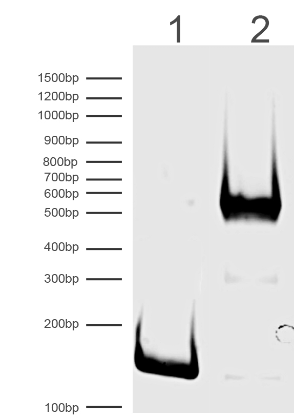 16-0336 DNA Gel Data
