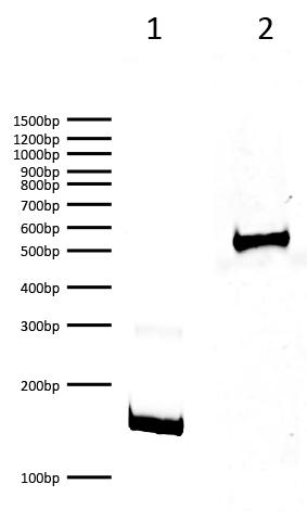 16-1323 DNA Gel