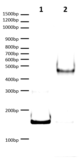 16-1365 DNA Gel Data