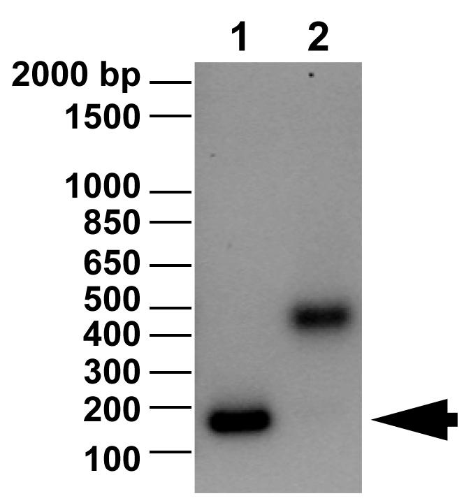 16-0006 DNA Gel