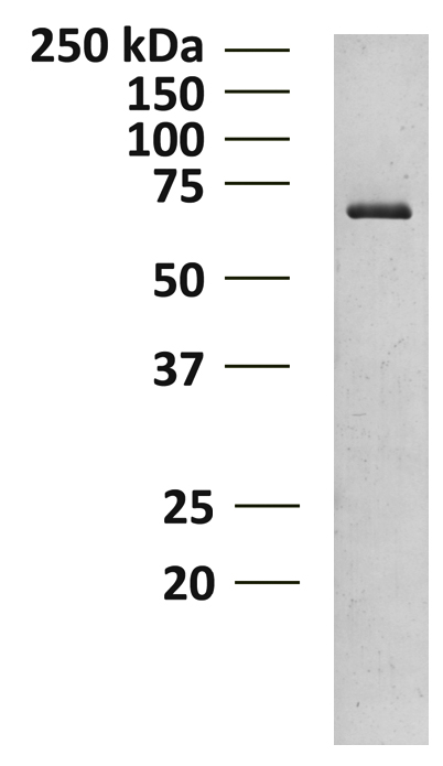 15-1011 Gel and Enzyme Activity Data