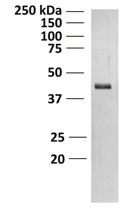 15-1012 Gel and Enzyme Activity Data